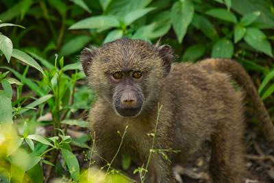 Adolescent Baboon