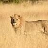 DSC_0313 w Lion