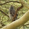 Verreaux (milky / giant) Eagle Owl,