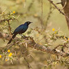 Ruppells (long-tailed) Starling