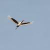 Saddle-billed Stork, female