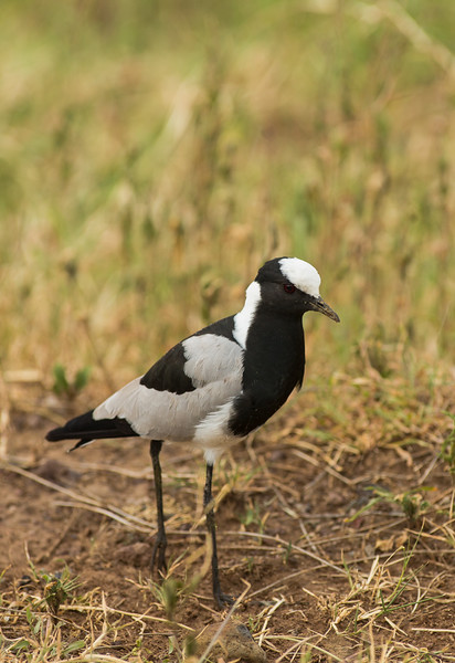 Blacksmith lapwing or Blacksmith plover (Vanellus armatus)