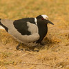 Blacksmith lapwing or Blacksmith plover