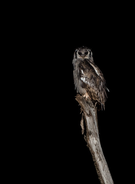 Verreaux's eagle-owl, also known as the milky eagle owl  (Bubo lacteus)