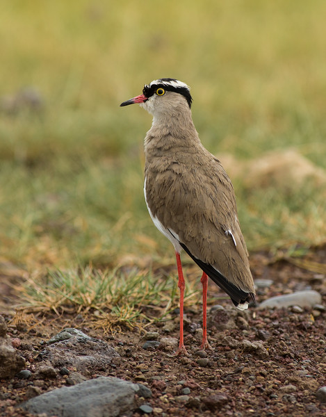 Crowned lapwing  or Crowned plover (Vanellus coronatus),