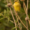 Yellow -fronted Canary