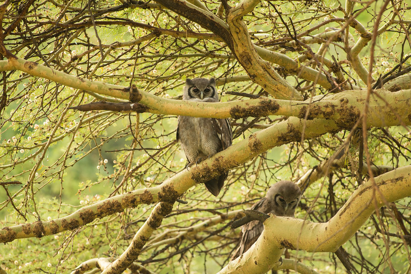 Verreaux (milky / giant) Eagle Owl, adult top and juv
