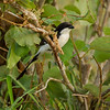 Long-tailed fiscal shrike (Lanius cabanisi)