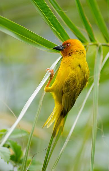 African Golden Weaver / Ploceus subaureus