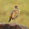 Rufous-naped lark (Mirafra africana)
