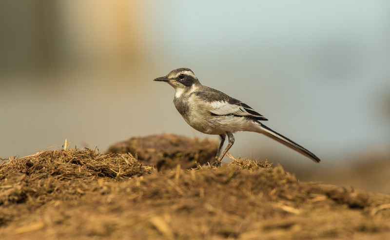 Cape wagtail  / Motacilla capensis