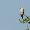 African white shouldered kite
