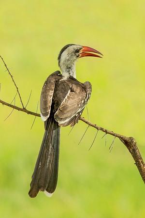 Northern red-billed hornbill (Tockus erythrorhynchus)