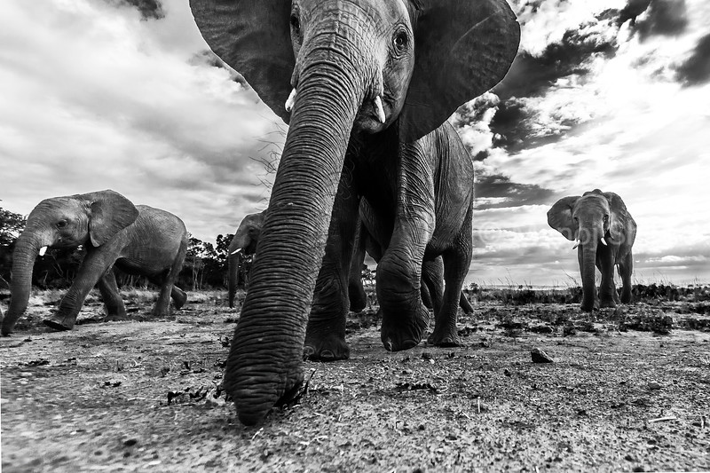 African Elephant emerging from the forest in Masai Mara and smelling the remote camera with its trunk