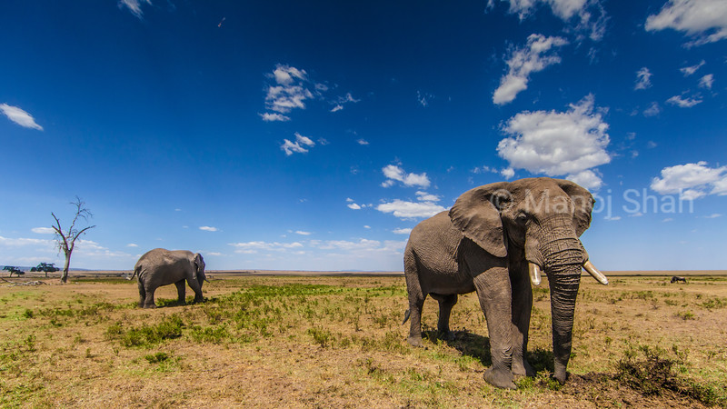 African Elephant walking to the marsh