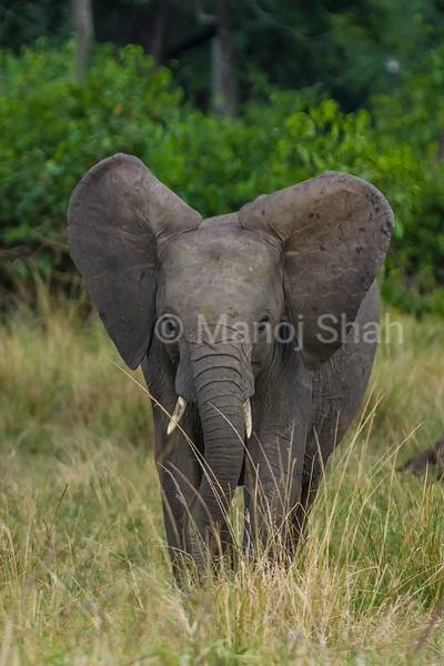 African elephant baby  grazing in Masai Mara savannah.