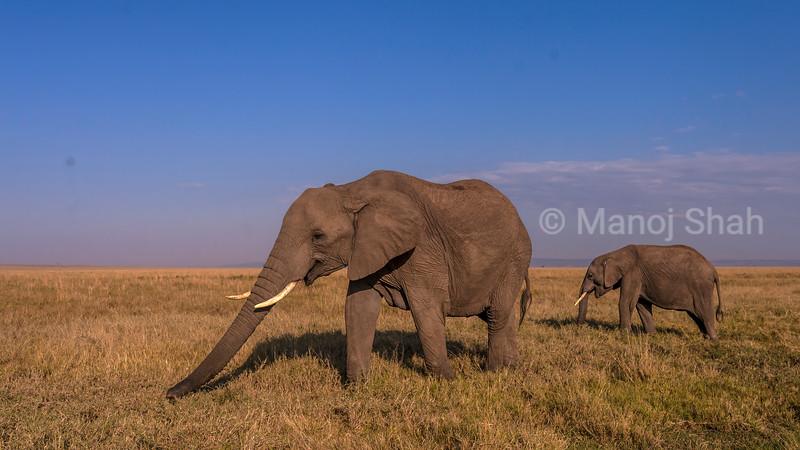 African elephant herd  grazing in Masai Mara savannah after sunrise.