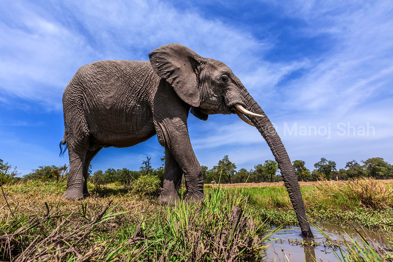 African bull elephant drinking water from the marsh in Masai Mara.