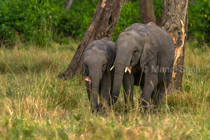Bark from the tree is eaten by these two elephant babies in Maasai Mara.