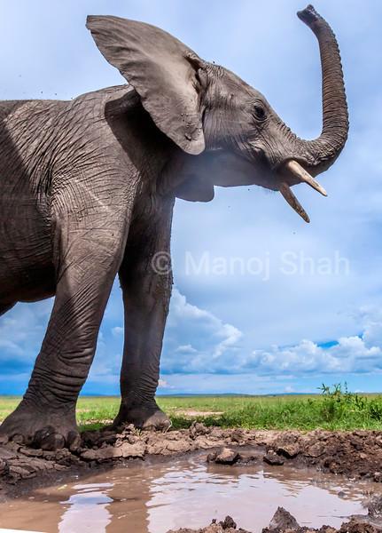 African elephant raises trunk at water pool in Masai Mara.