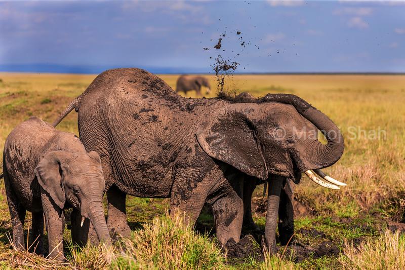 African Elephants have a mud bath in Masai Mara.
