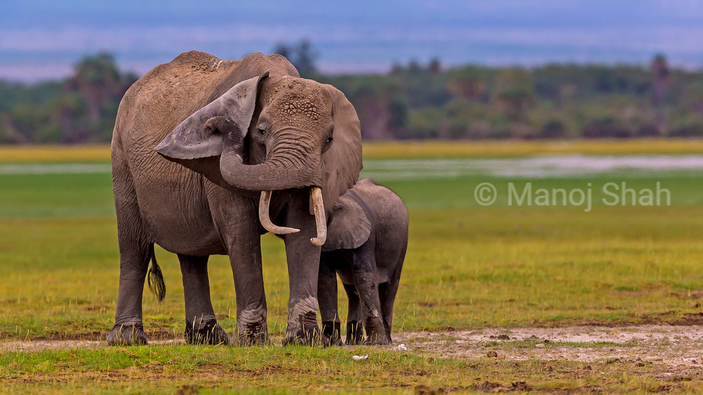 Mother elephant uses her trunk to scratch her ear in Amboseli National Reserve.