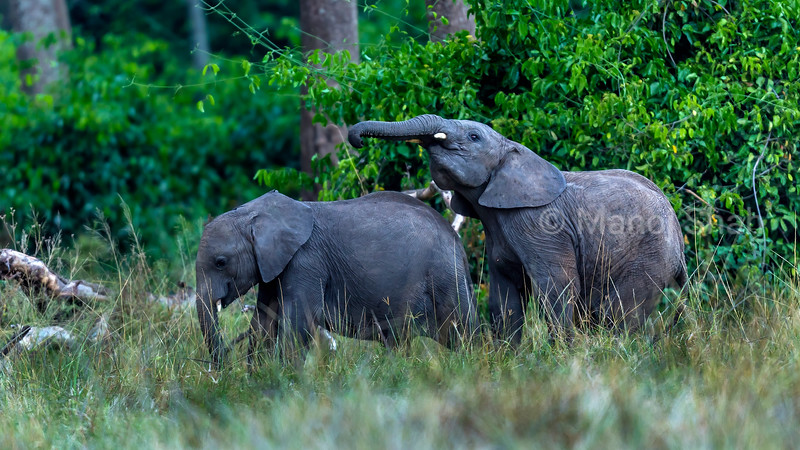 Two young african elephants playing outside the forest in Masai Mara.