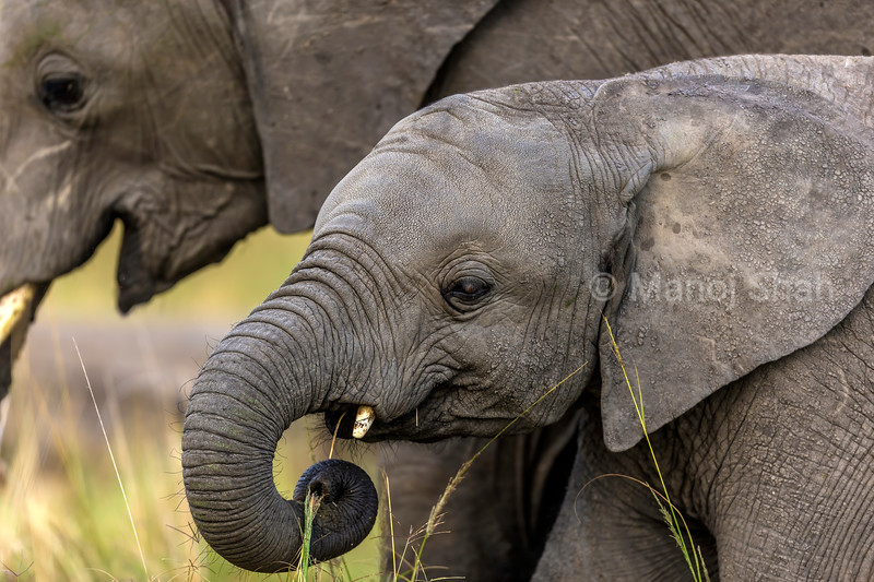 Baby elephant grazing portrait in Maasai Mara.