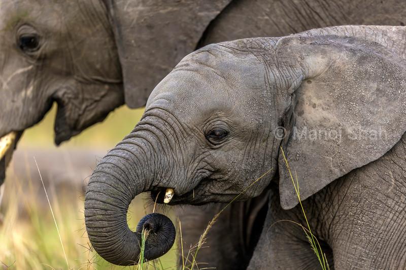 Baby elephant grazing portrait in Maasai Mara.