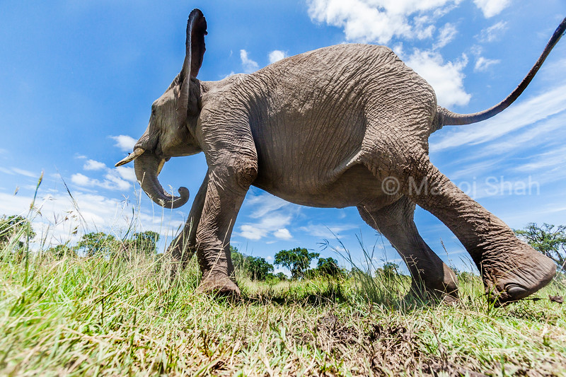 An African Elephant walks past a hidden camera in Masai Mara.