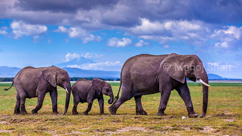 African Elephant family walking along the Amboseli marsh.