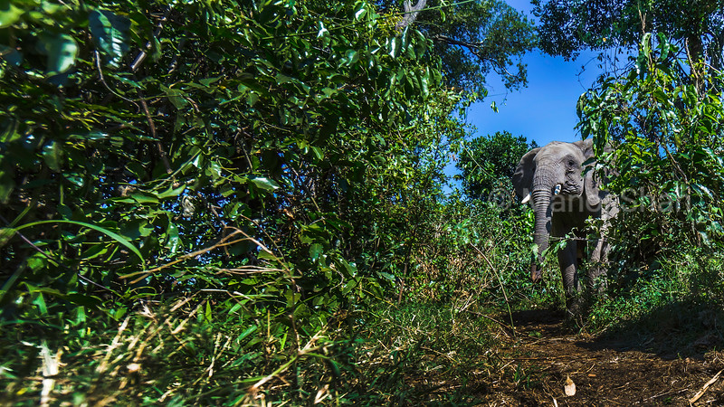 African Elephant emerging from the forest in Masai Mara.