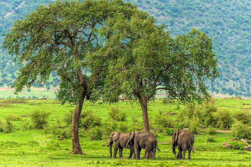 African Elephants grazing in Masai Mara.