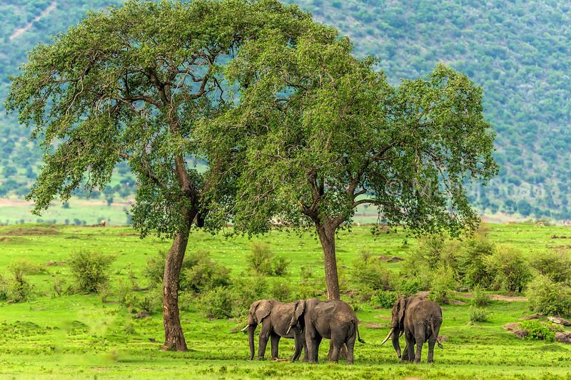 African Elephants grazing in Masai Mara.
