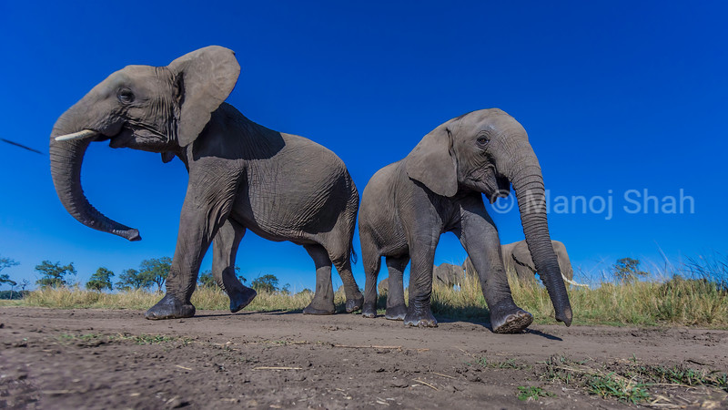 African Elephant mother and youngster graze in the Masai Mara svanna.