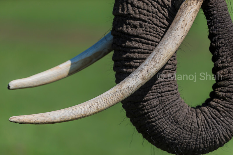 African Elephant tusks