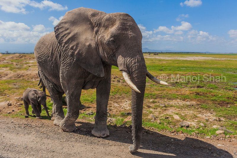 Mother and baby African Elephant crssing the road in Amboseli National Park.