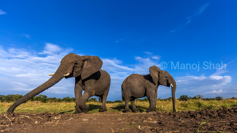 African Elephant emerging from the riverine forest in Masai Mara and graze in the savanna.