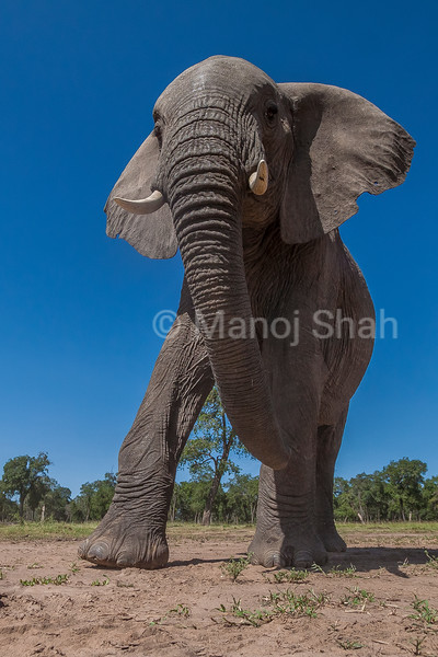 African Elephant walking to the marsh in Amboselli National Park.