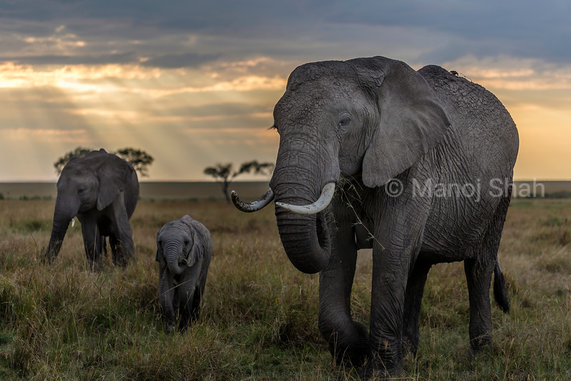 African elephant herd  grazing in Masai Mara savannah after sunrise.
