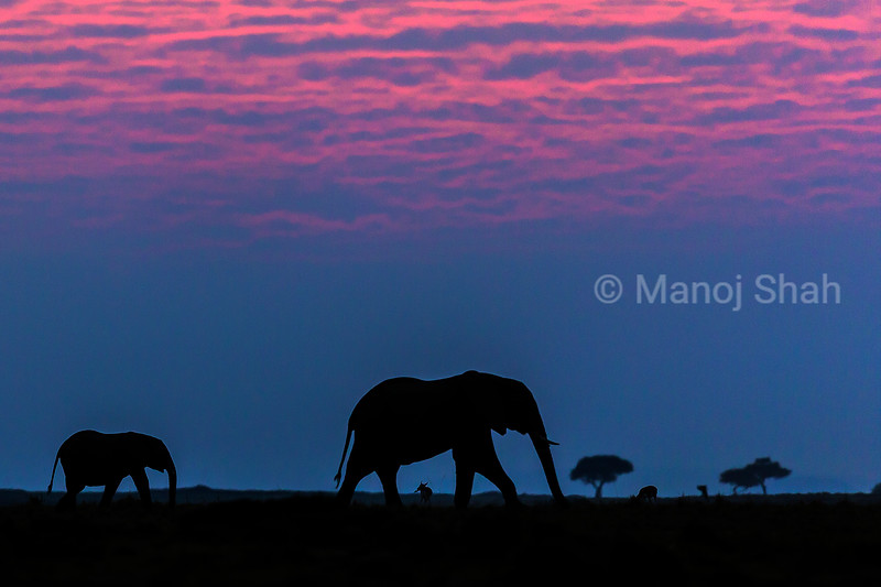 African elephant baby walking with mother before sunrise