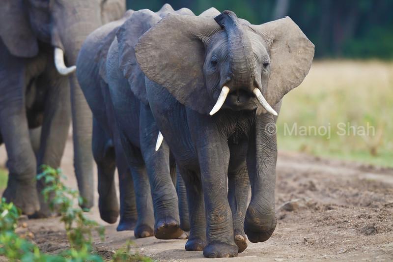 Elephant herd walking