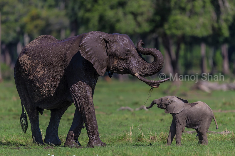 African elephant with baby playing