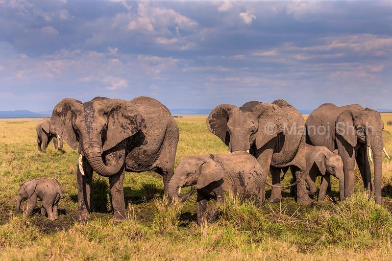 African Elephan therd has a mud bath in Masai Mara.