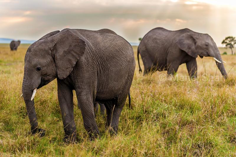 African elephant herd  grazing in Masai Mara savannah.