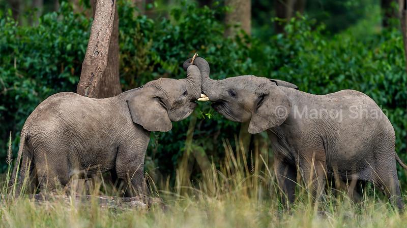Elephants play fighting in Masai Mara.