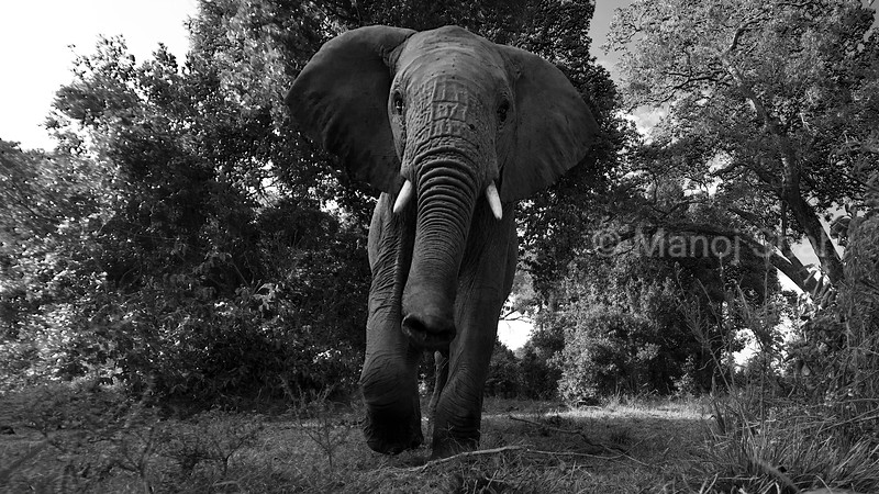 African Elephant emerging from the forest in Masai Mara and smelling the enviroment.