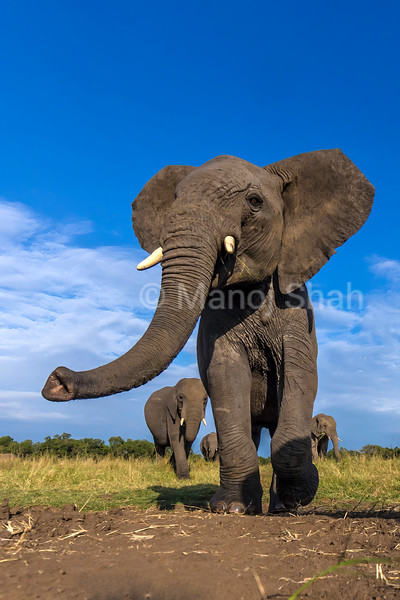 African Elephant herd emerging from the riverine forest in Masai Mara and walks towards the marsh for grazing.