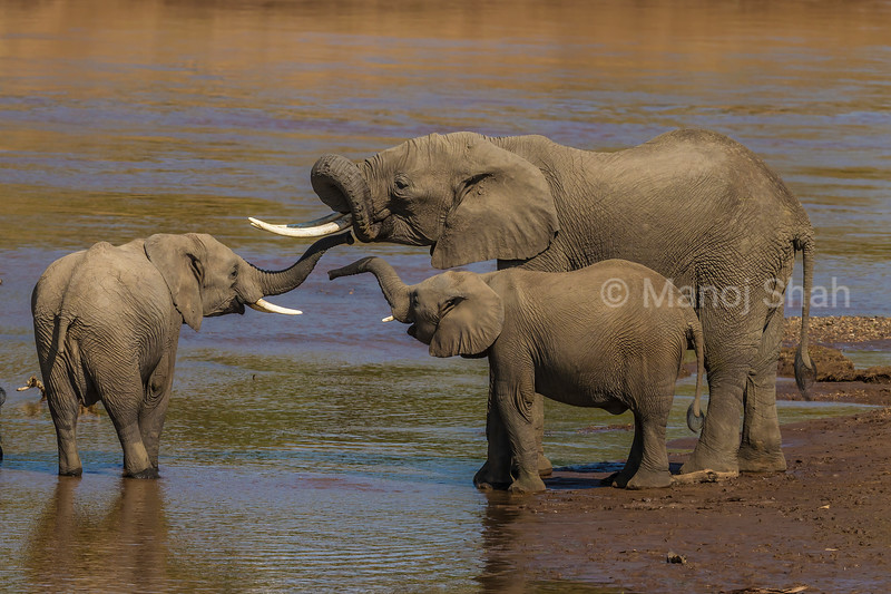 African elephant youngsters smelling an adults mouth with their trunks in Masai Mara.