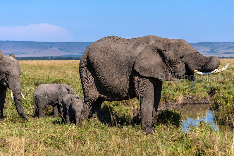 African elephant adult using its trunk to drink water in Masai Mara
